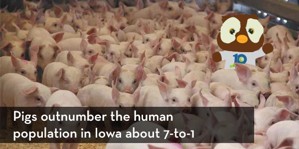 Pigs outnumber humans in Iowa